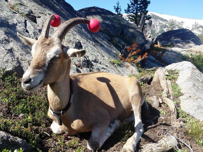14 chèvres indisciplinées qui ont été obligées de porter des nouilles de piscine pour la sécurité de tous