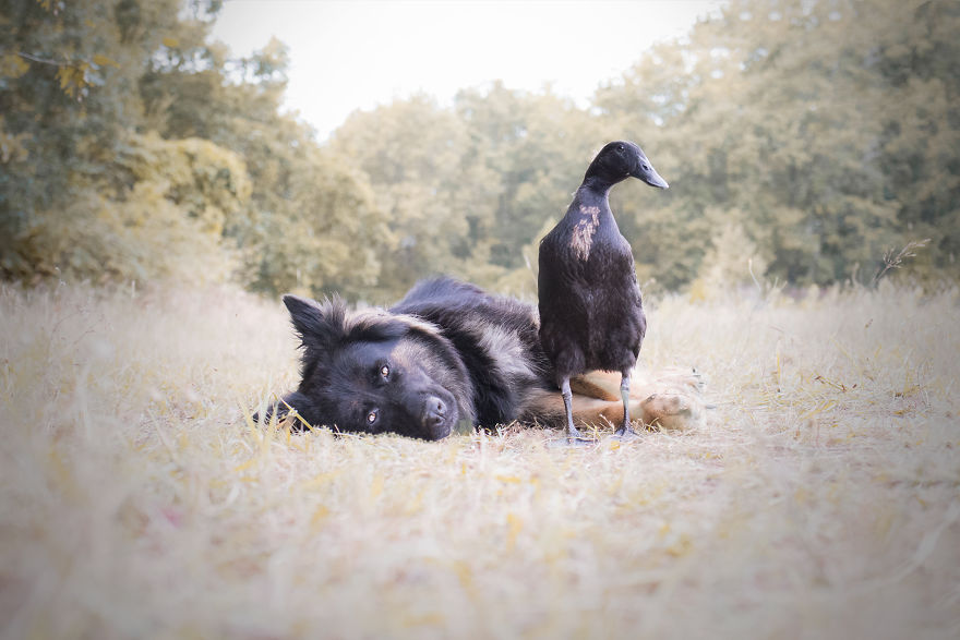Je capture l'amitié inattendue entre ma chienne et mon canard (25 images)