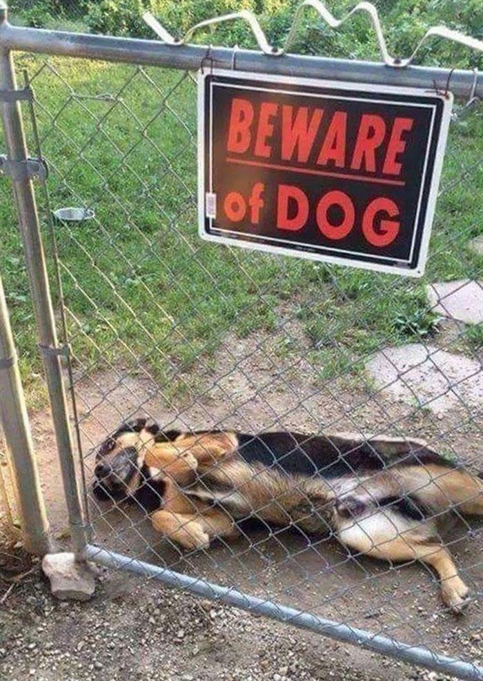 22 chiens «dangereux» derrière des enseignes «méfiez-vous du chien»