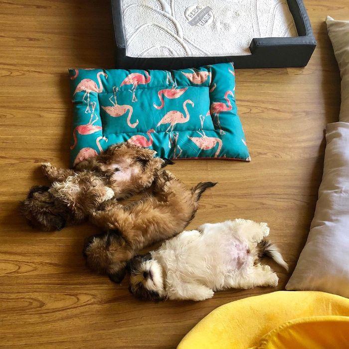 Ce chiot dort comme s'il avait été «éteint» et il est juste trop mignon (22 images)