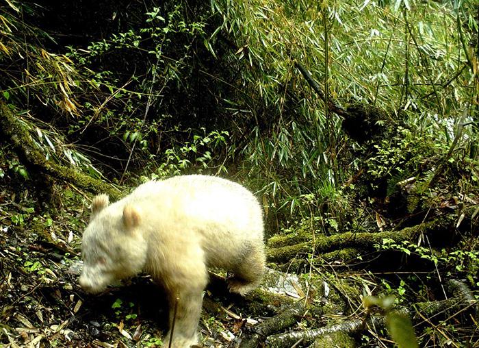 Un panda albinos jamais vu auparavant a été aperçu dans une forêt en Chine