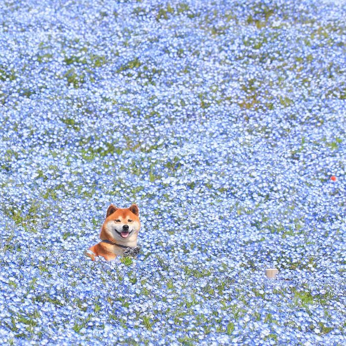 Ce shiba inu est le plus joli fleuriste du Japon et ses 19 photos rendent les gens heureux