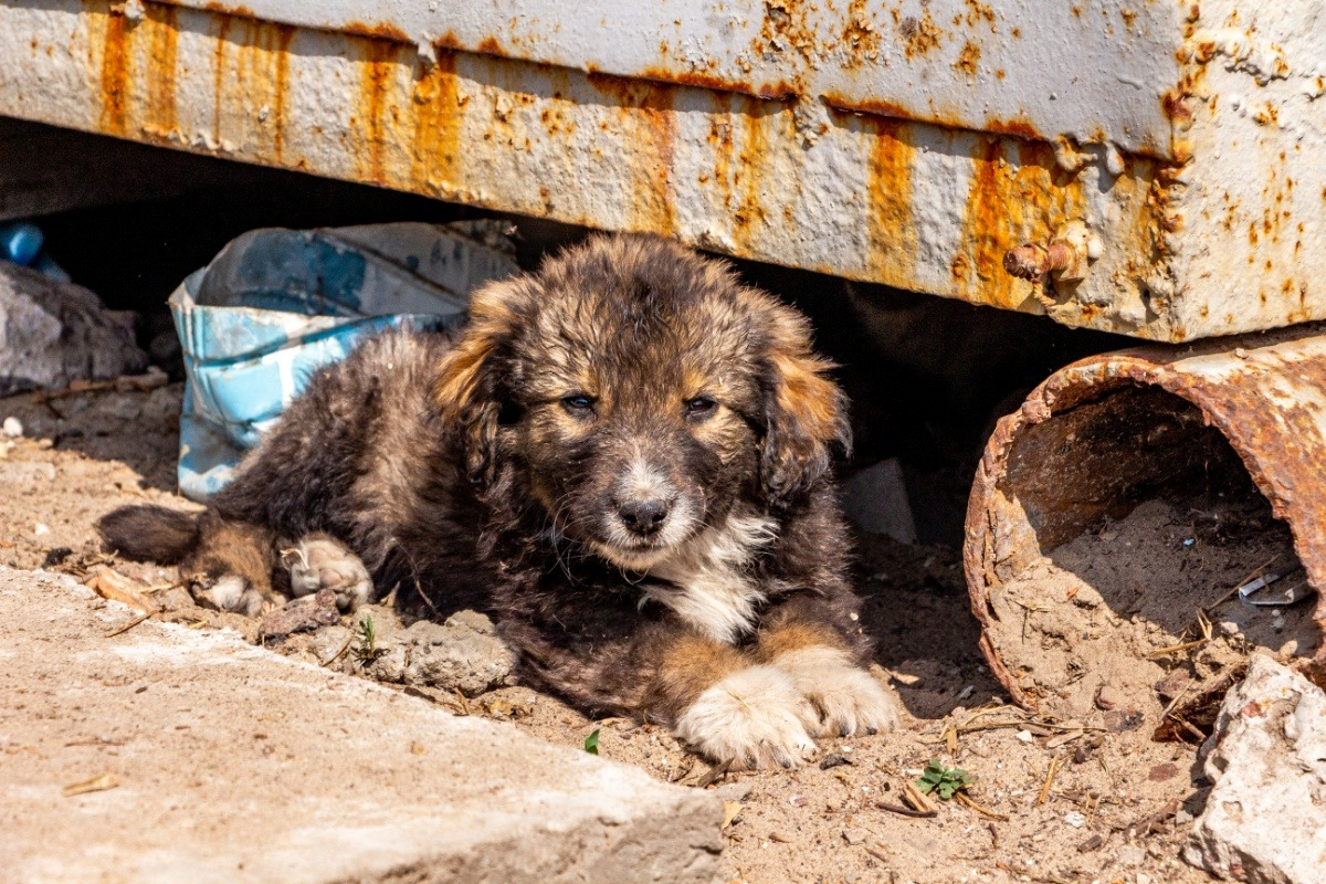 Tchernobyl abrite des chiots adorables que tu peux adopter