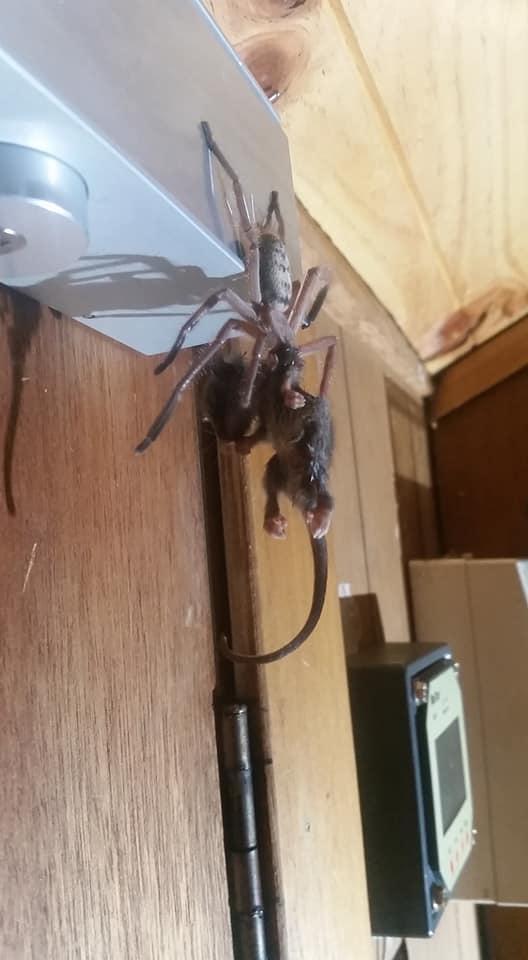 Cette araignée sparassidae a dévoré un opossum entier devant un mari et sa femme horrifiés en Tasmanie