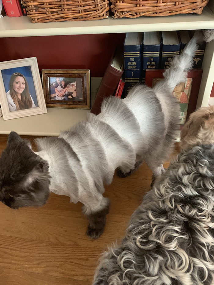 Un papa a apporté le chat de la famille chez la toiletteuse et il est revenu avec un minou qui ressemble à un accordéon