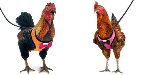 Amazon vend des harnais pour poulets qui aident votre poulet à traverser la route en toute sécurité