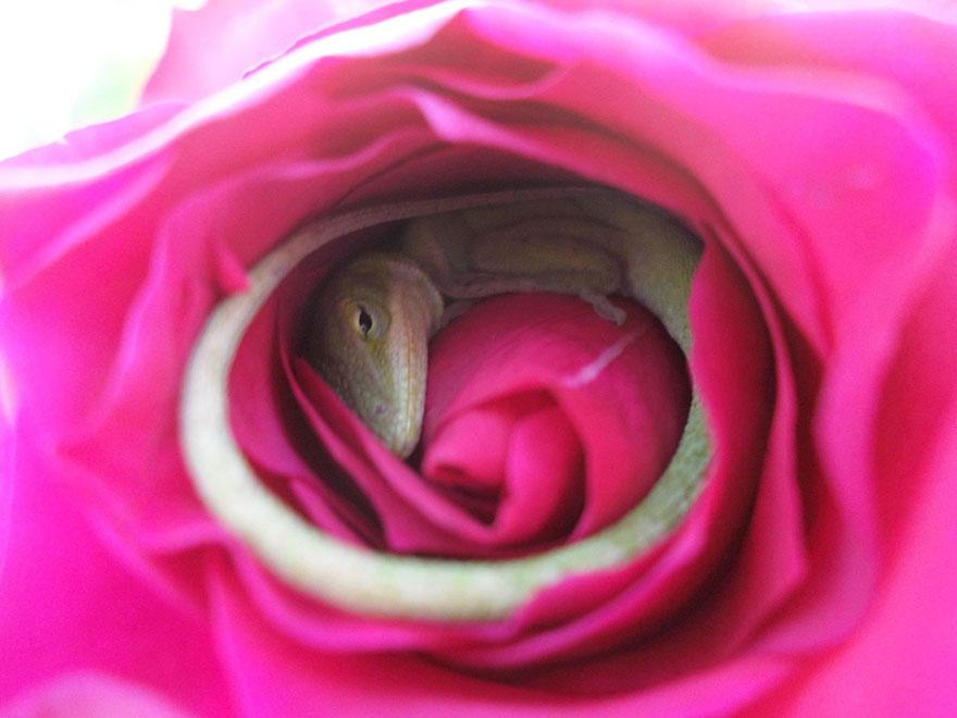 Ce lézard s'est endormi dans une rose et c'est la chose la plus adorable