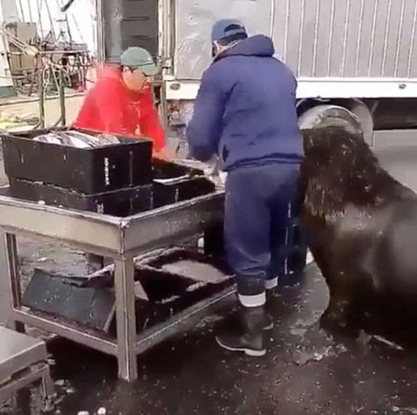 Un lion de mer géant est entré dans un marché aux poissons et a demandé des collations