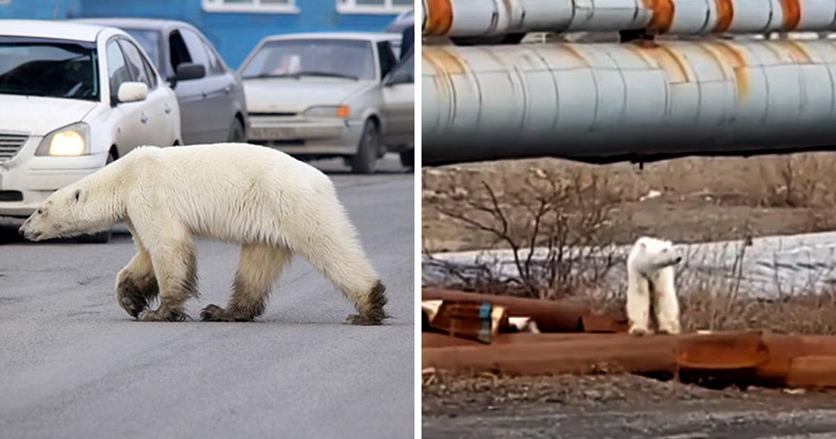Un ours polaire affamé s'est retrouvé en pleine ville à plus de 800 kilomètres de son habitat naturel