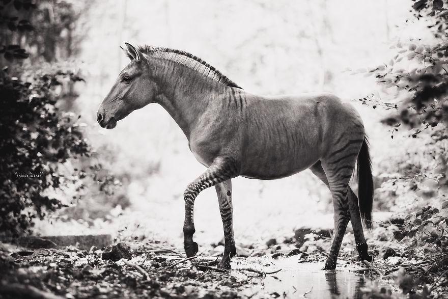 J'ai photographié un zorse – l'hybride qui «n'existe pas» selon la plupart des gens (10 photos)