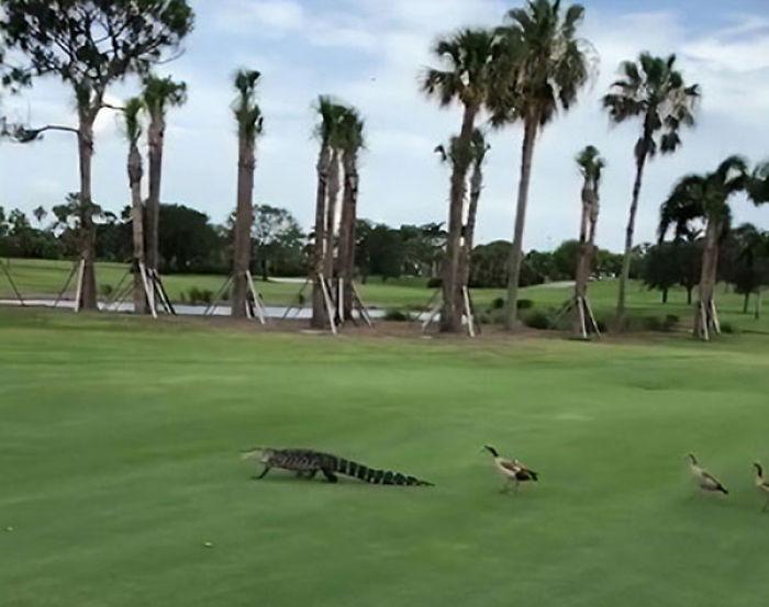 Des canards en colère ont interrompu une partie de golf en pourchassant un alligator sur le terrain