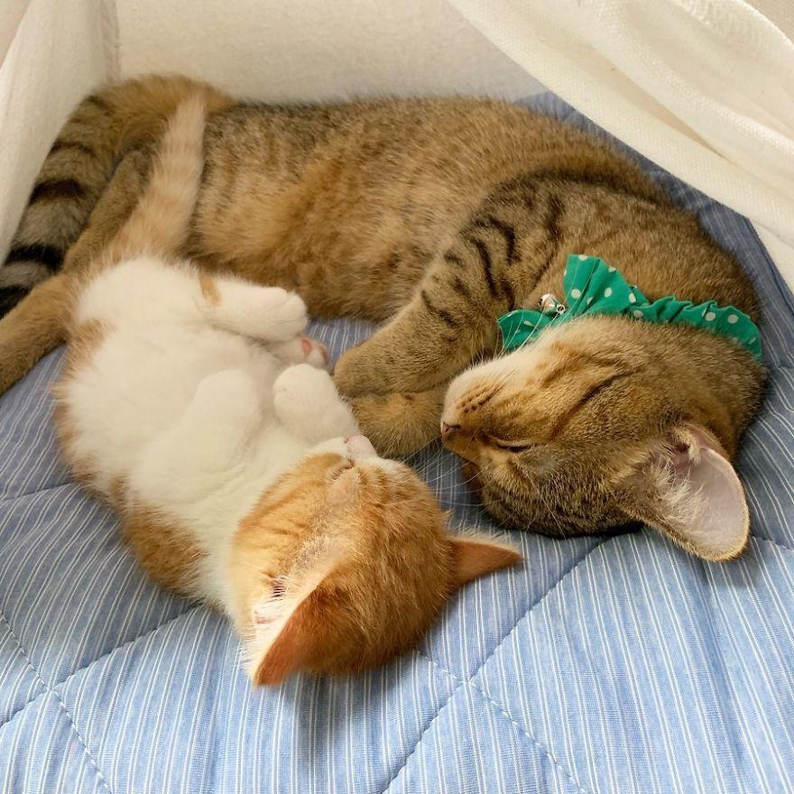 8 photos d'un adorable chaton munchkin qui dort comme un humain