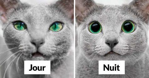 Ces magnifiques chats bleus russes ont les yeux les plus ensorcelants (21 images)