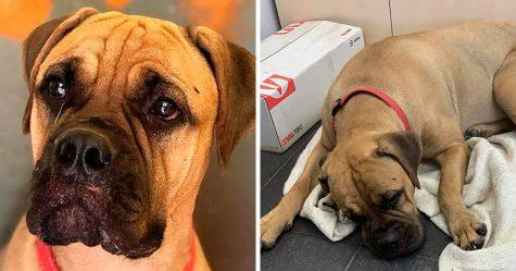 Cette chienne a marché 200 kilomètres avec les «larmes aux yeux» pour retrouver le propriétaire qui l'a abandonnée