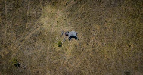 Une photo choquante montre un éléphant mutilé dont les défenses et la trompe ont été coupées par des braconniers