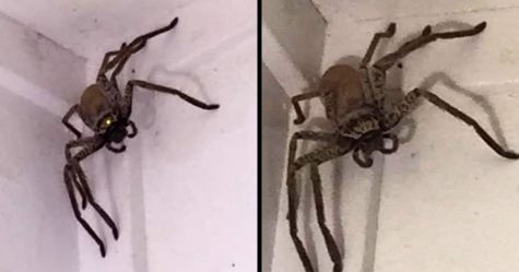 Une femme terrifiée a trouvé une araignée géante dans sa maison