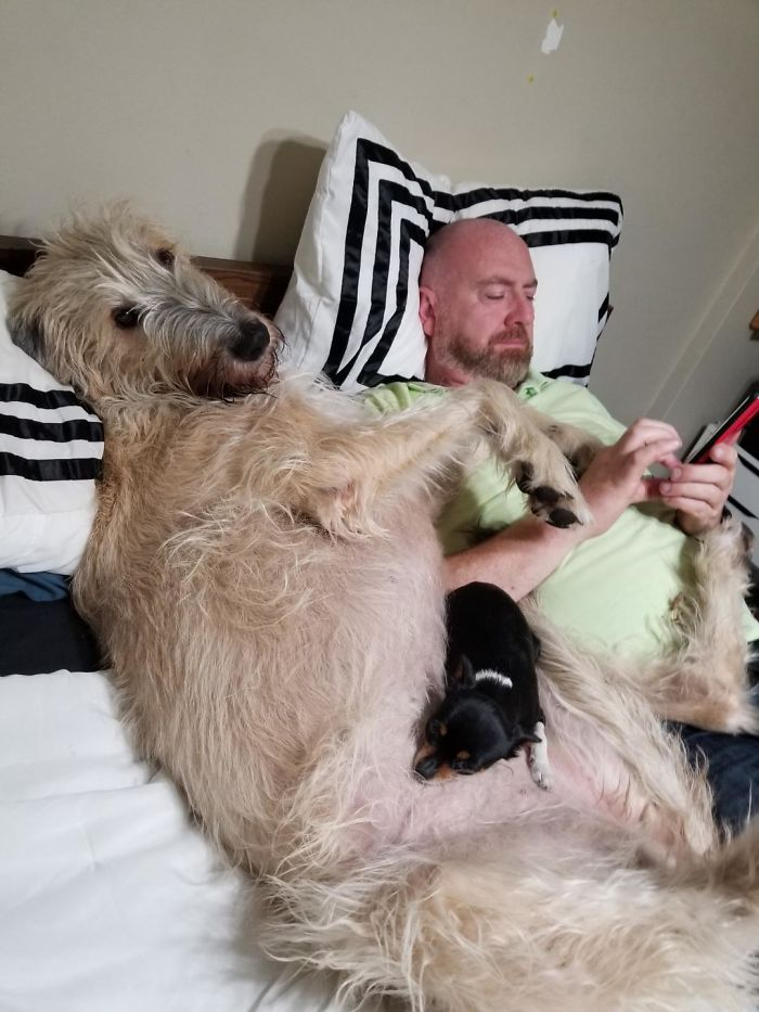 Des gens publient des photos hilarantes de leurs lévriers irlandais et c'est fou comme ils sont gros (33 nouvelles images)