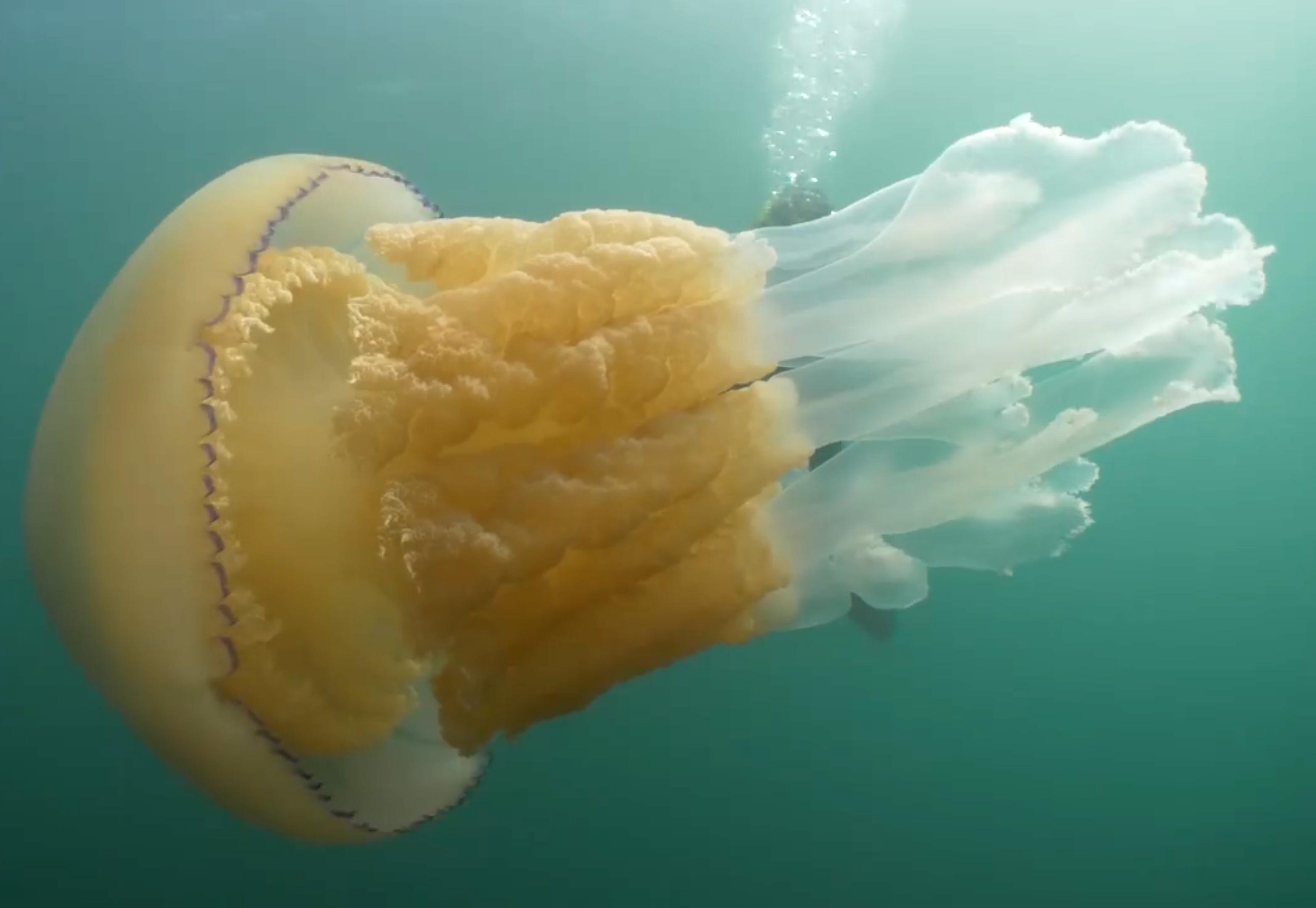 Une méduse géante aussi grosse qu'une plongeuse est apparue au large de la côte des Cornouailles