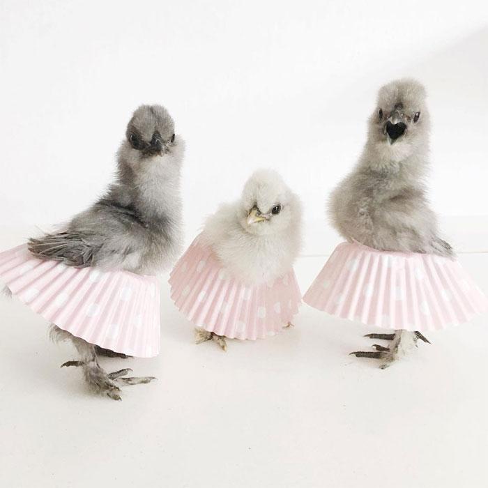 Les poulets en tutu envahissent Internet et ils sont ravissants (24 images)