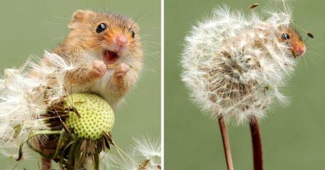33 photos adorables de souris des moissons vivant leur minuscule vie par Dean Mason