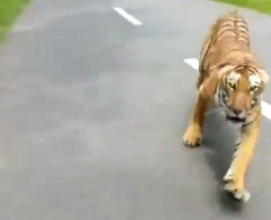 Des motocyclistes ont échappé à la mort quand un tigre s'est mis à les pourchasser depuis la forêt