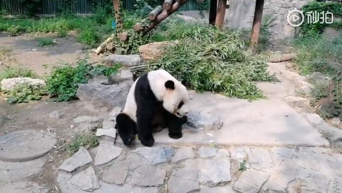 Des touristes ont lancé des pierres à un panda parce qu'il «dormait»