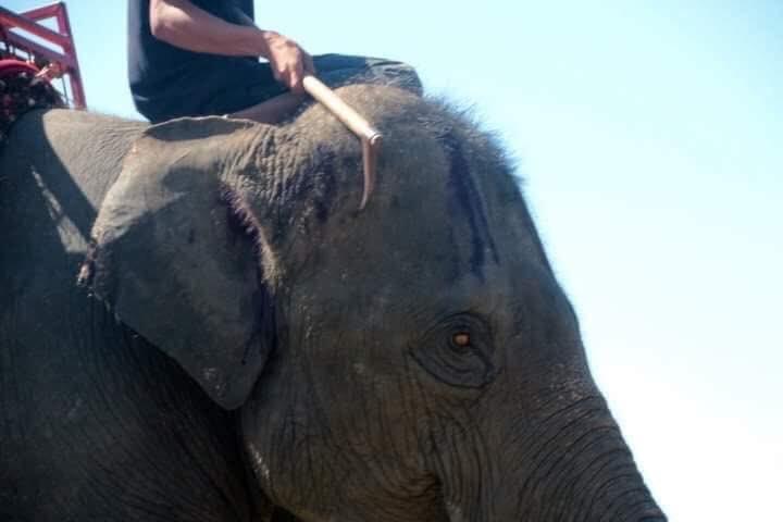 Les touristes sont invités à ne pas monter les éléphants en Thaïlande alors que des photos horribles ont émergé