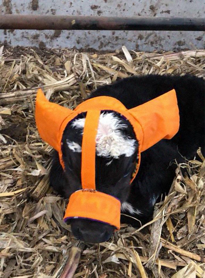 Les agriculteurs protègent leurs veaux contre les engelures avec des cache-oreilles et ils sont trop mignons
