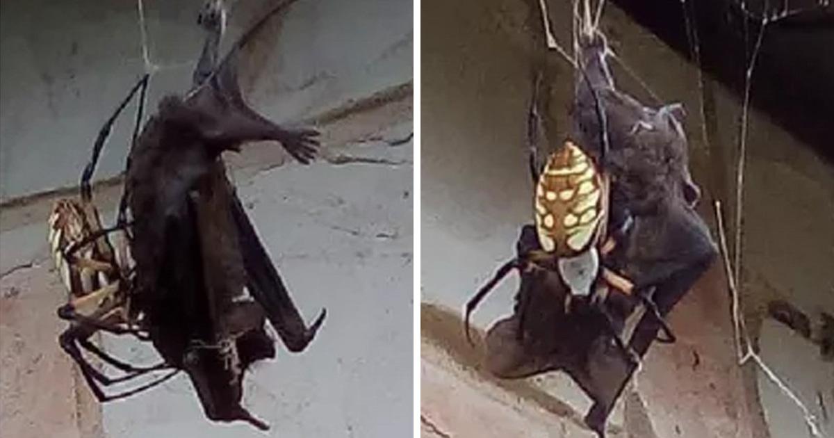 Des photos terrifiantes montrent une araignée ayant capturé une énorme chauve-souris dans sa toile