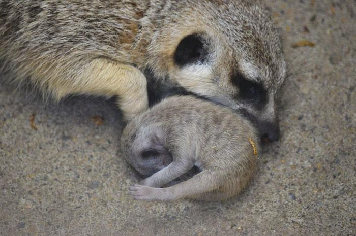Ce photographe a pris 22 photos d'un bébé suricate timide et sa famille