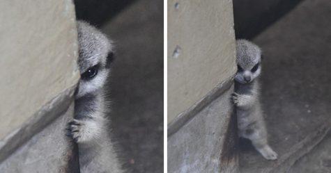 Ce photographe a capturé un bébé suricate timide et sa famille en 22 images