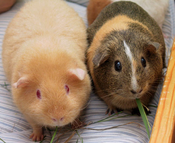 Il est illégal de posséder un seul cochon d'Inde en Suisse parce qu'ils se sentent seuls