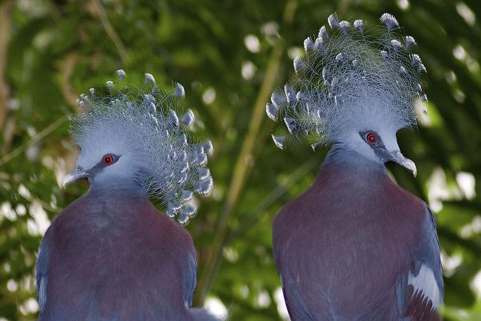 Le «Goura de Victoria» est l'un des plus beaux oiseaux du monde et peut atteindre la taille d'une dinde