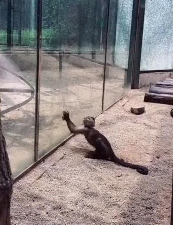 Le visiteur d'un zoo a vu un singe affûter une pierre qu'il a utilisée plus tard pour briser la vitre de son enclos