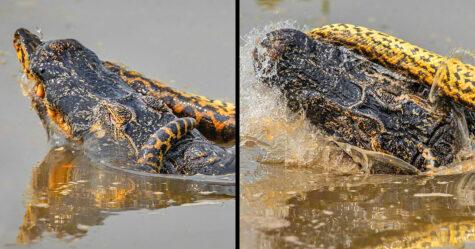 Un anaconda de 8,5 mètres a tué un crocodile en Amazonie lors d'un combat jusqu'à la mort