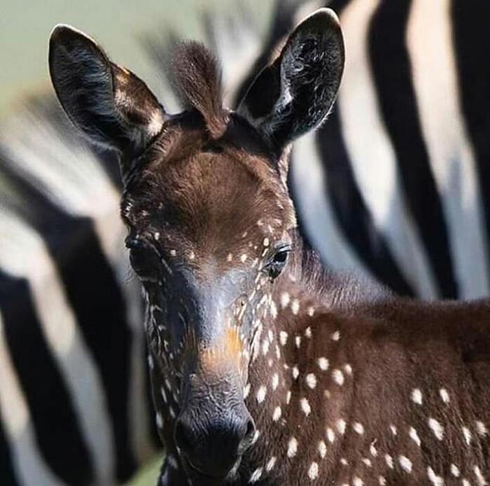 Ce bébé zèbre est né avec des taches au lieu de rayures (7 images)