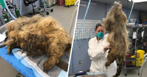 Cette chienne qui ne pouvait pas bouger à cause de sa fourrure emmêlée est méconnaissable après son sauvetage