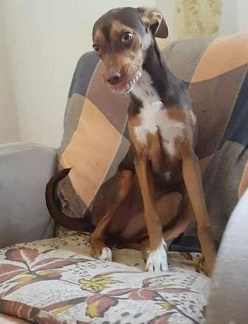 Cette chienne a posé avec un dentier après l'avoir volé sous un oreiller