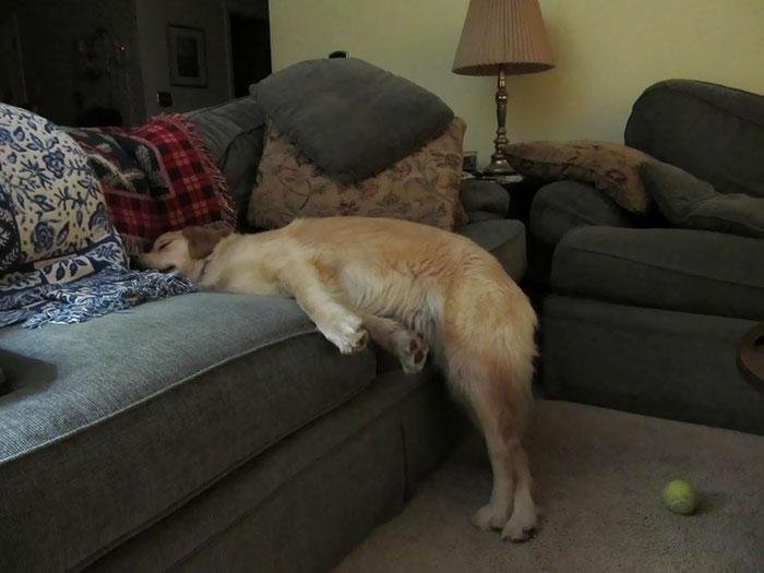 33 fois où des chiens ont réussi à s'endormir dans les positions les plus inconfortables et hilarantes