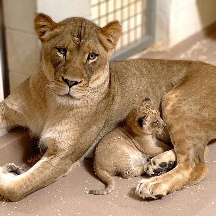 Papa lion s'accroupit pour rencontrer son bébé lionceau pour la première fois dans cette adorable vidéo