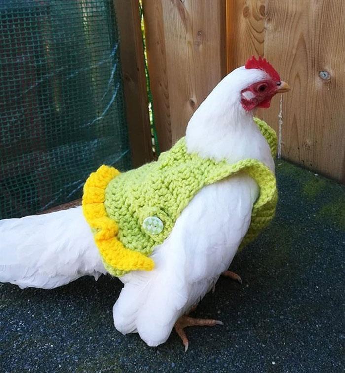 22 poules prêtes pour l'automne avec leurs petites tenues tricotées