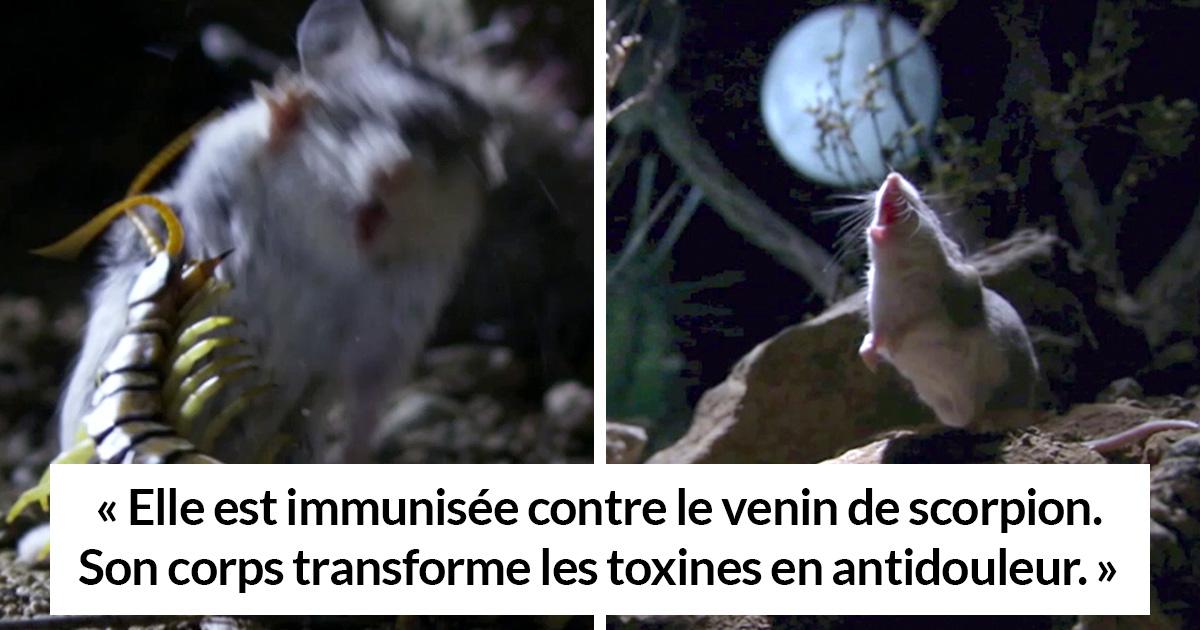 Voici la souris la plus redoutable du monde qui chasse les scorpions et hurle à la lune