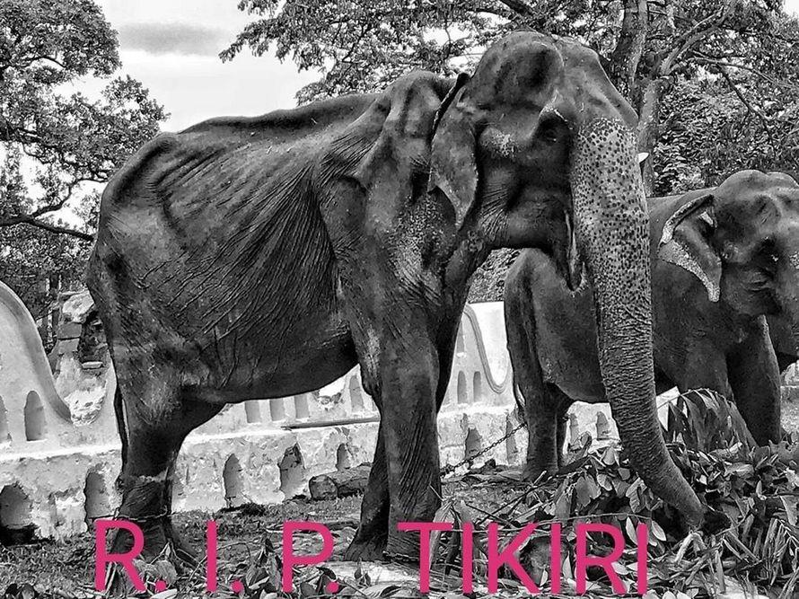 Tikiri, l'éléphante qui a choqué le monde par son corps squelettique, est morte à l'âge de 70 ans