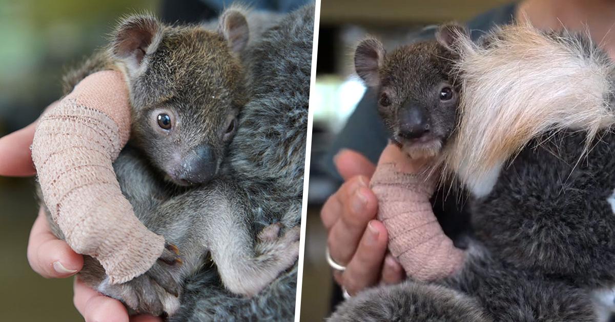 Ce bébé koala orphelin de 150 jours a eu un minuscule plâtre sur la patte après être tombé d'un arbre