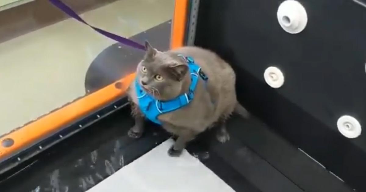 Cette chatte obèse est devenue virale après avoir été agacée par un entrainement sous l'eau