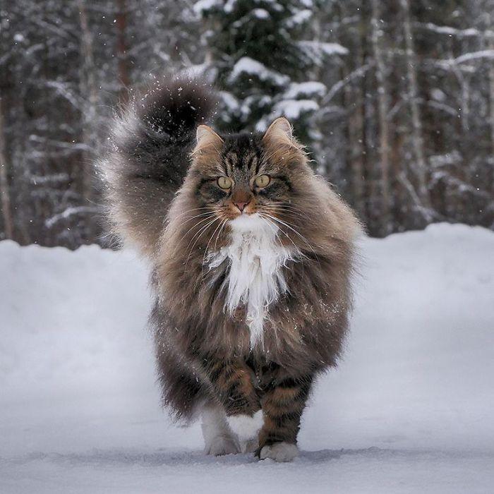 33 photos de chats norvégiens qui profitent de la meilleure vie d'hiver possible