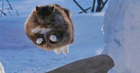 33 photos de chats norvégiens qui vivent la meilleure vie d'hiver possible