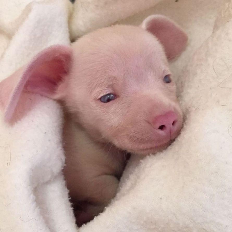 Porcinet le chiot rose, aveugle et sourd inspire les enfants à surmonter leurs différences