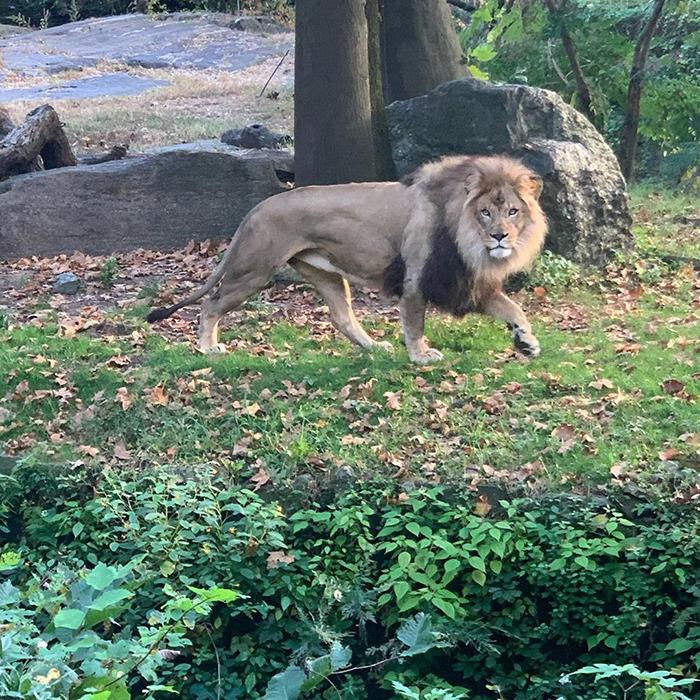 Cette femme a grimpé dans l'enclos d'un lion pour le provoquer
