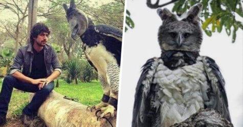 Voici la harpie féroce, un oiseau si gros que certaines personnes pensent que c'est un humain déguisé